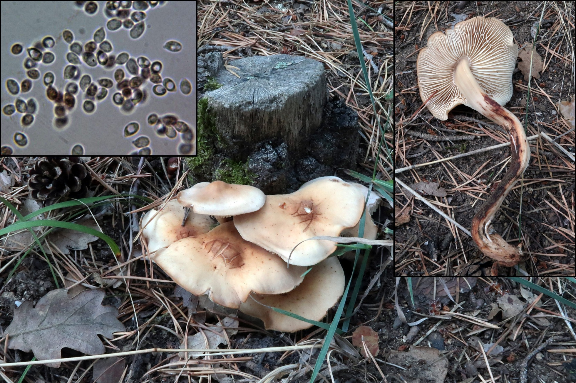 Gymnopusfusipes_2018-09-08.jpg
