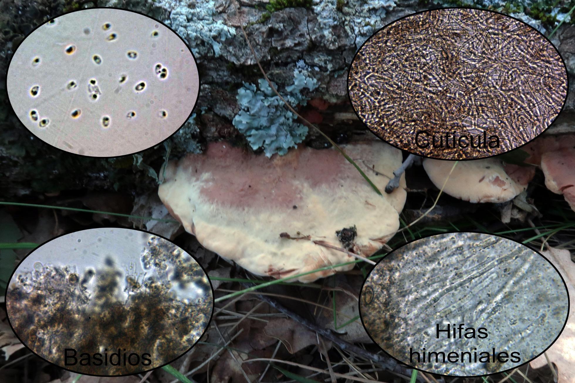 Hapalopilusnidulansmicro.jpg