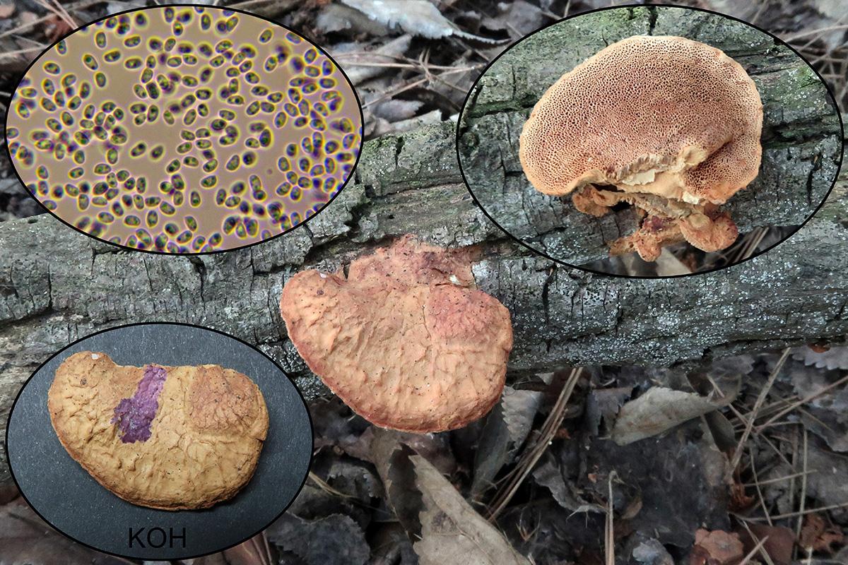 Hapalopilusnidulansp.jpg