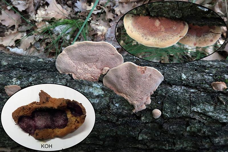 Hapalopilusnidulansp_2020-07-11.jpg