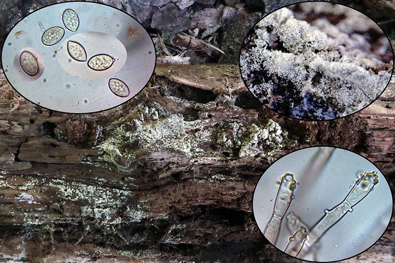 Haplotrichumcapitatump.jpg
