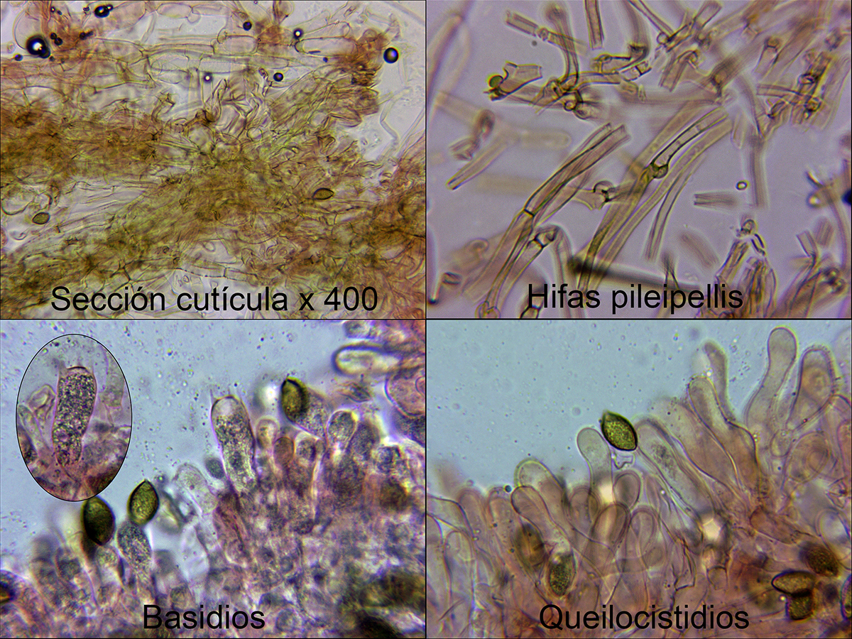 Hebelomasordescensmicro_2019-01-08.jpg