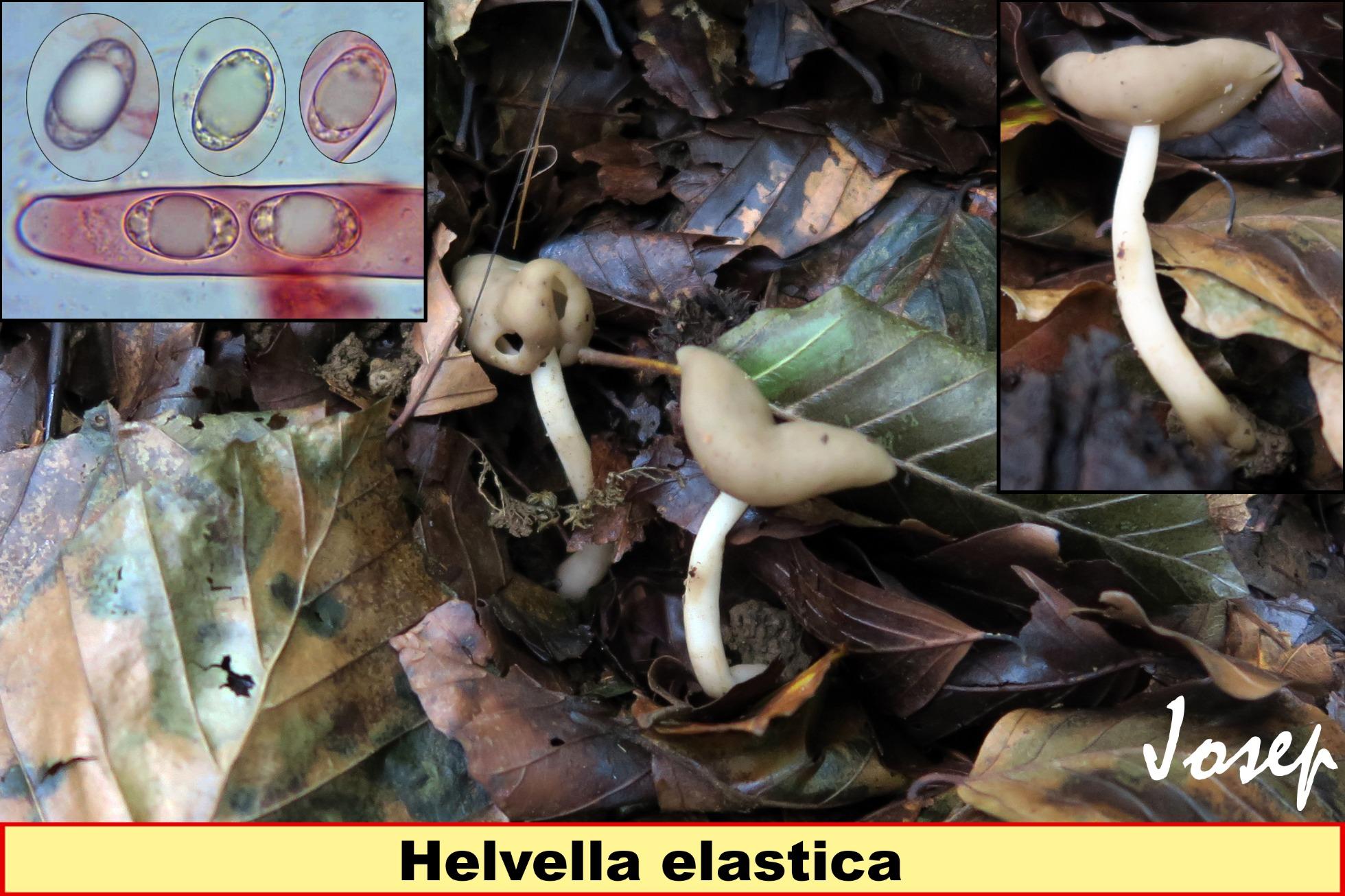 Helvellaelastica_2018-12-13.jpg