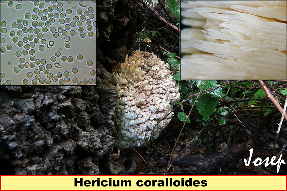 Hericiumcoralloides.jpg