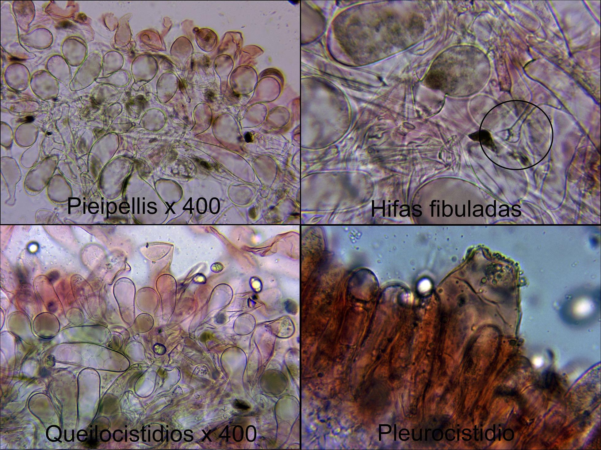 Himenopellisradicatamicro_2021-08-20.jpg