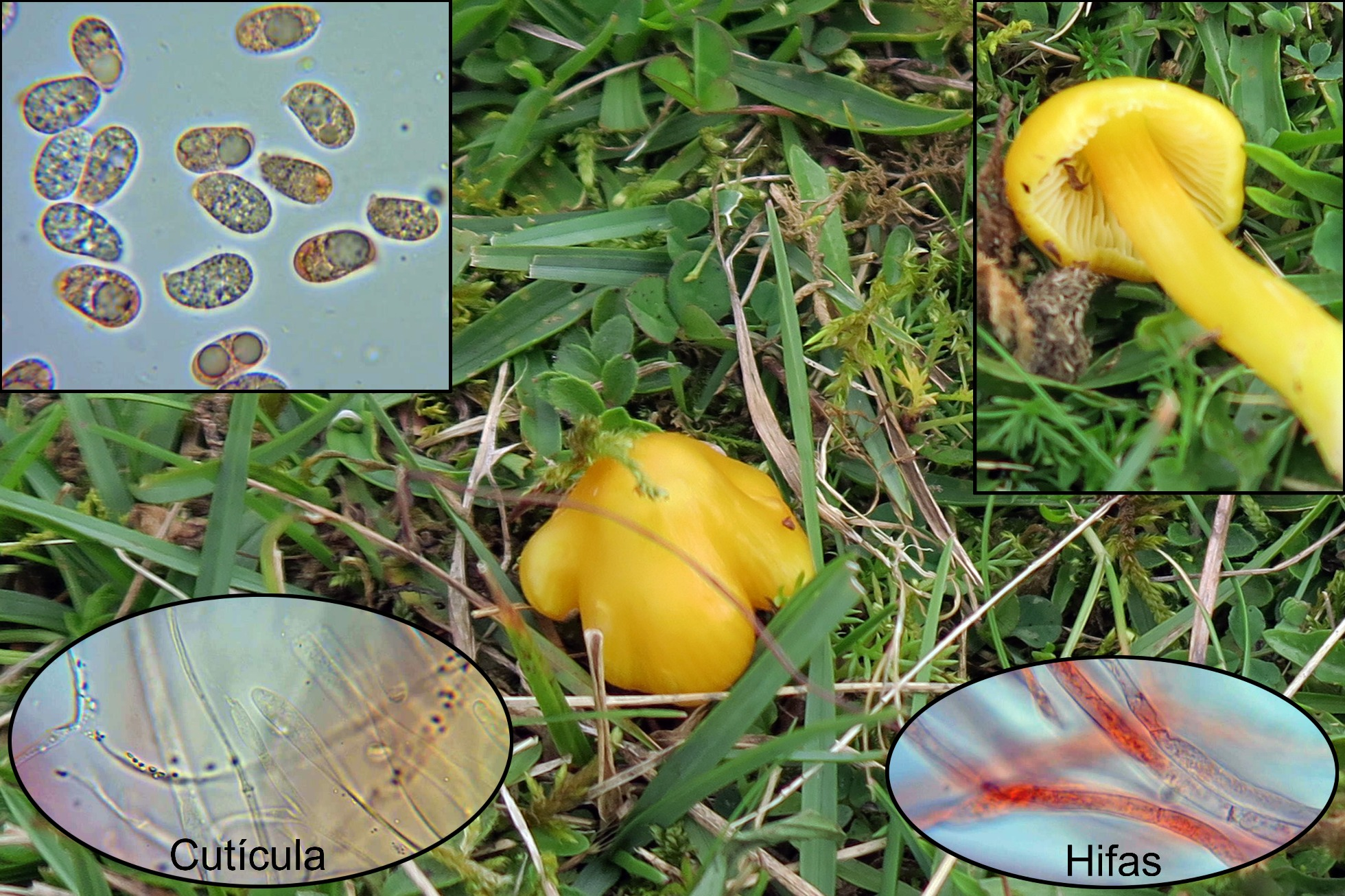 Hygrocybeacutoconica.jpg