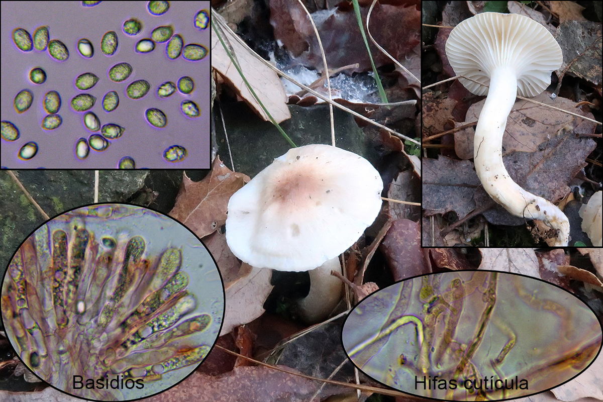 Hygrophorusleucophaeo-ilicisp.jpg