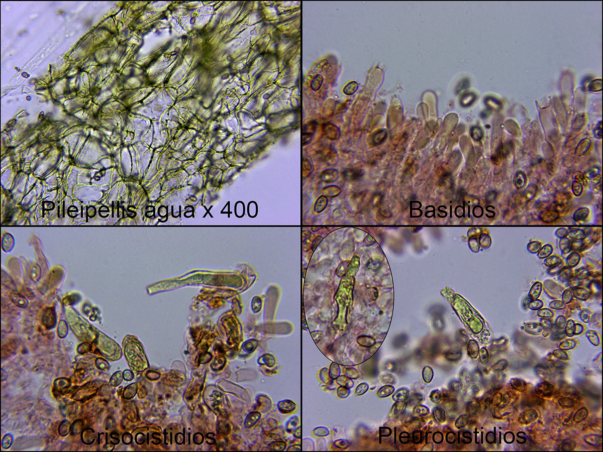 Hypholomacapnoidesmicro.jpg