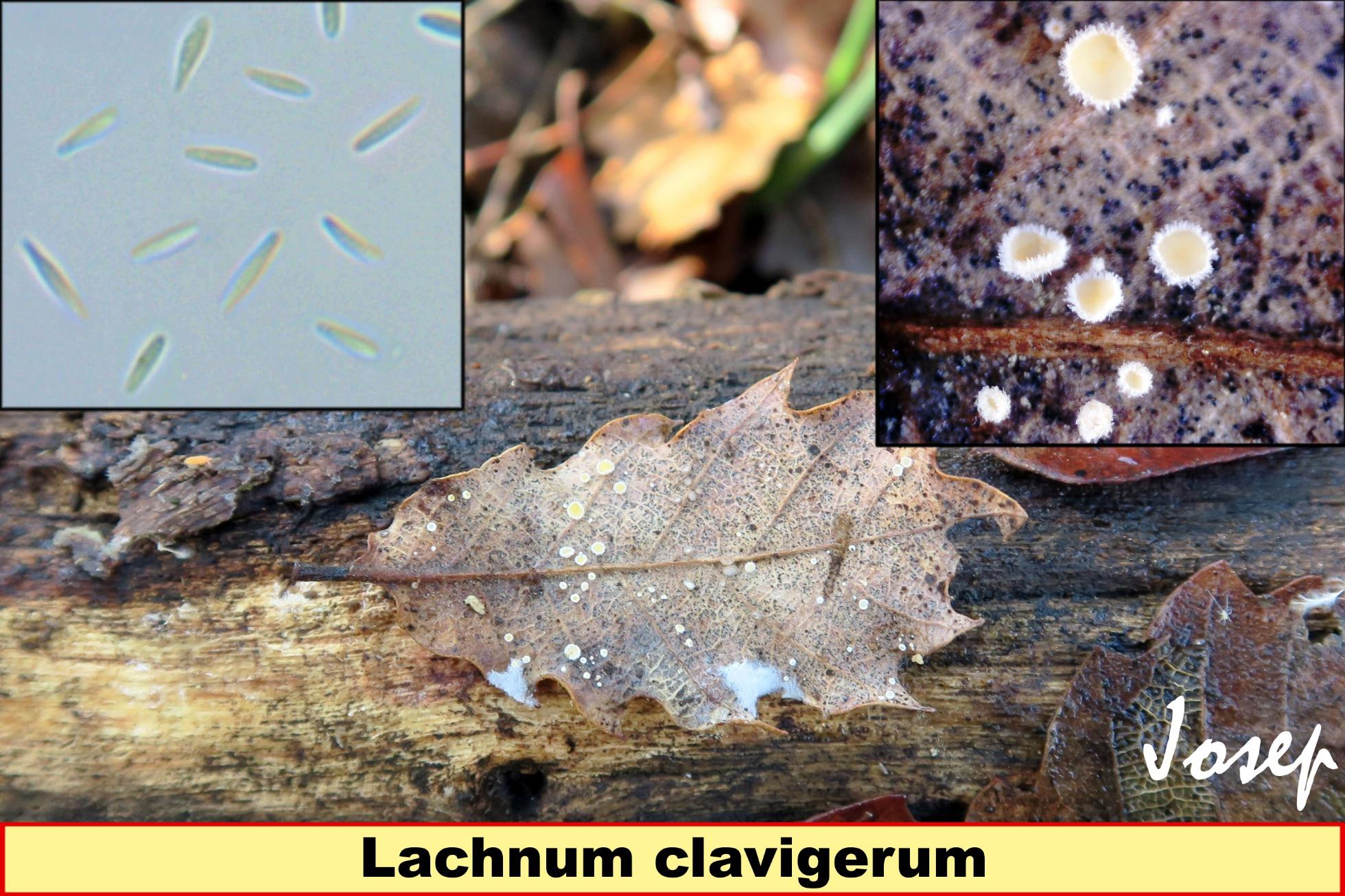 Lachnumclavigerum.jpg