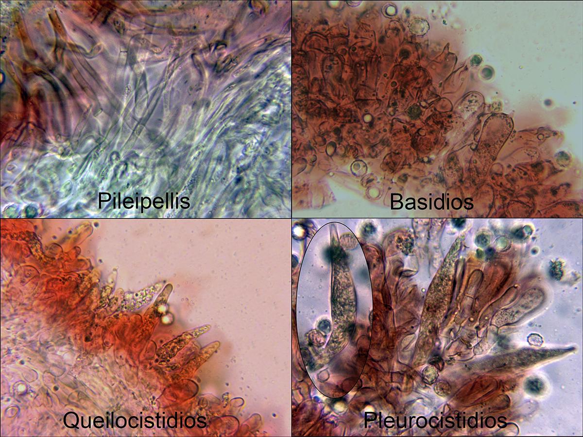 Lactariuschrysorrheusmicro.jpg