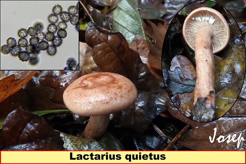 Lactariusquietus_2019-08-16-2.jpg