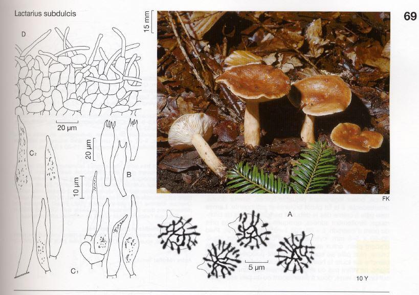 Lactariussubdulcis.JPG