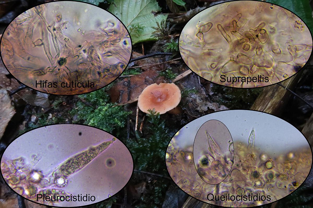 Lactariussubdulcismicro.jpg
