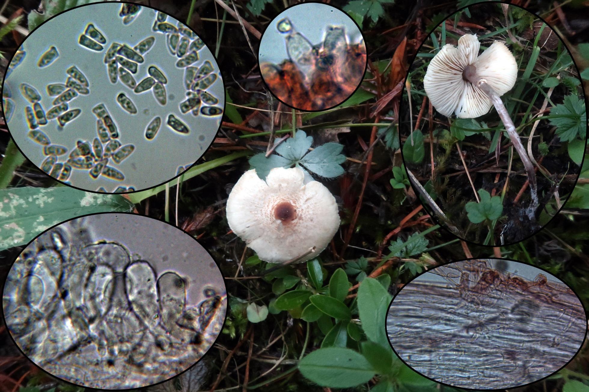 Lepiotacristatap.jpg