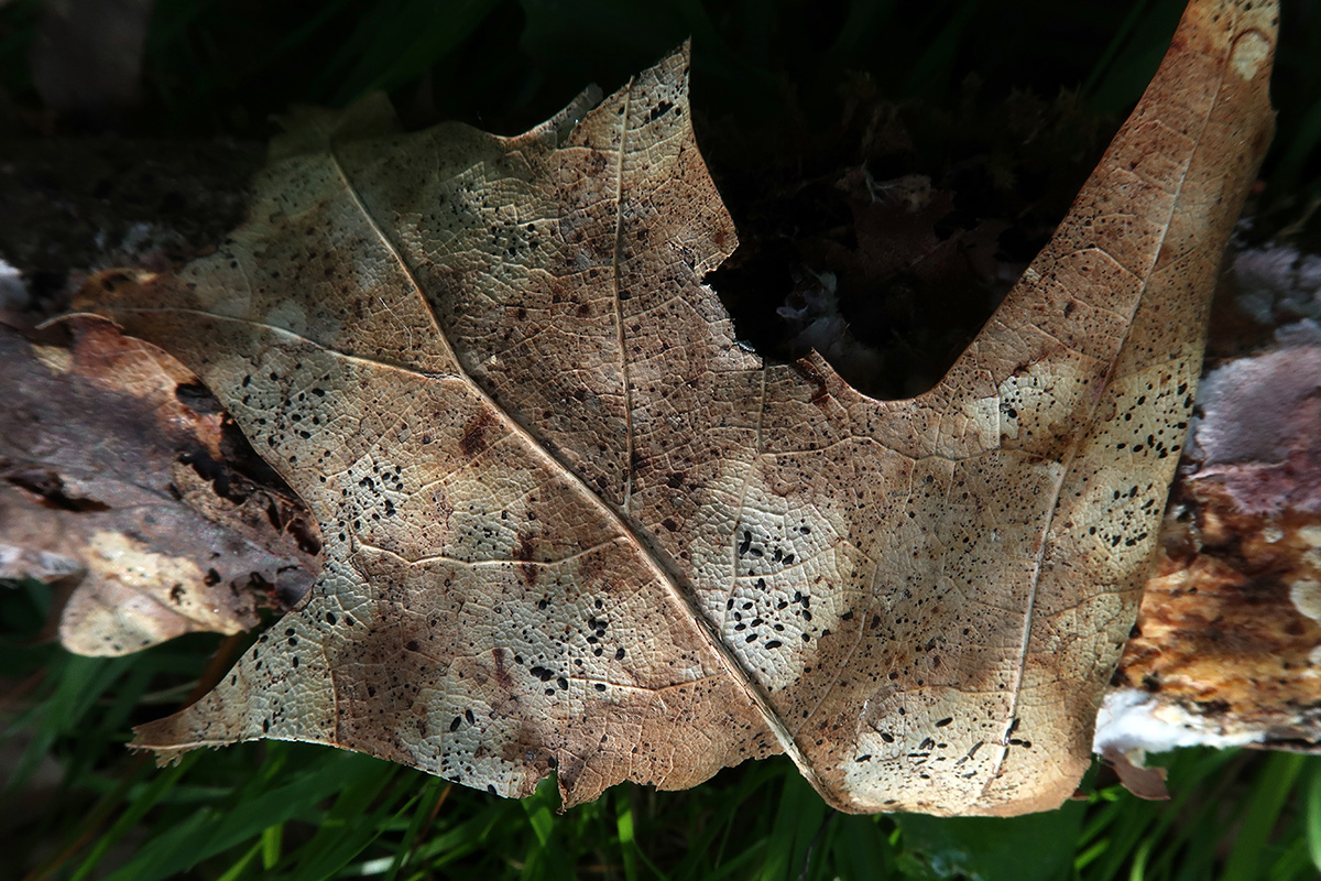 Lophodermiumfoliicola.JPG