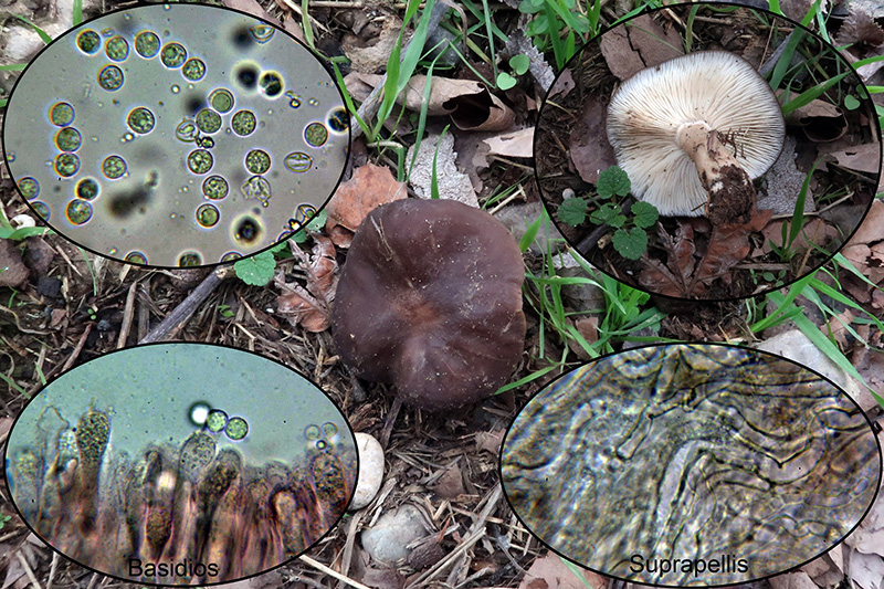 Lyophyllumdecastesp_2020-03-06.jpg
