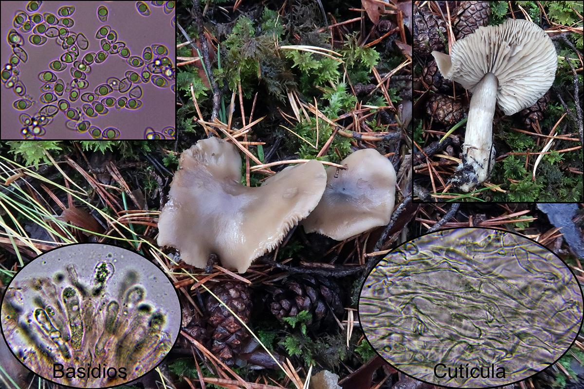 Lyophyllumsemitalemicro.jpg
