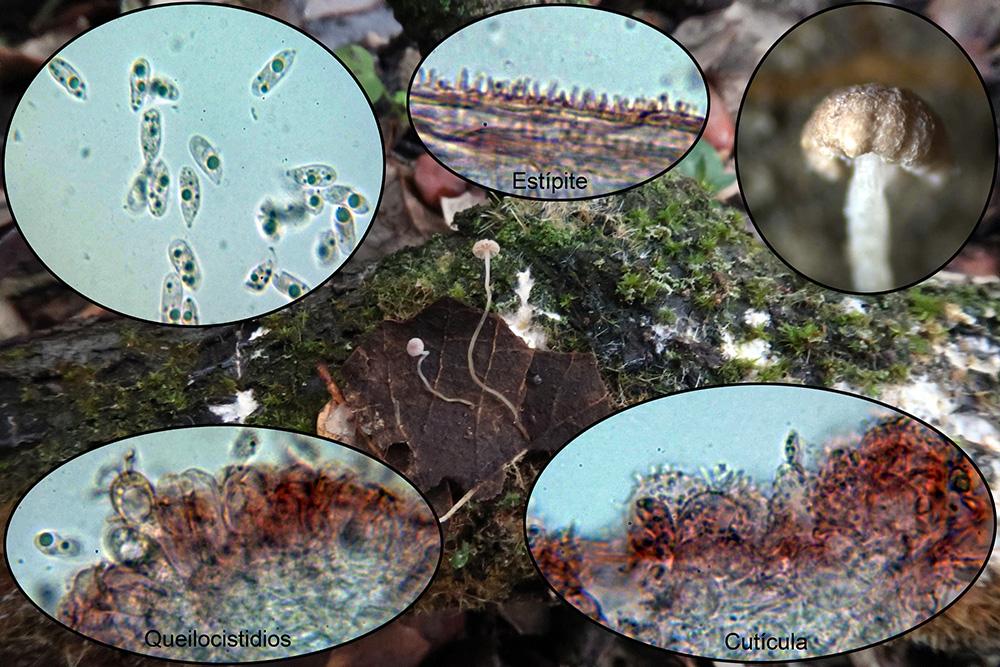 Marasmiuscfepiphylloides.jpg