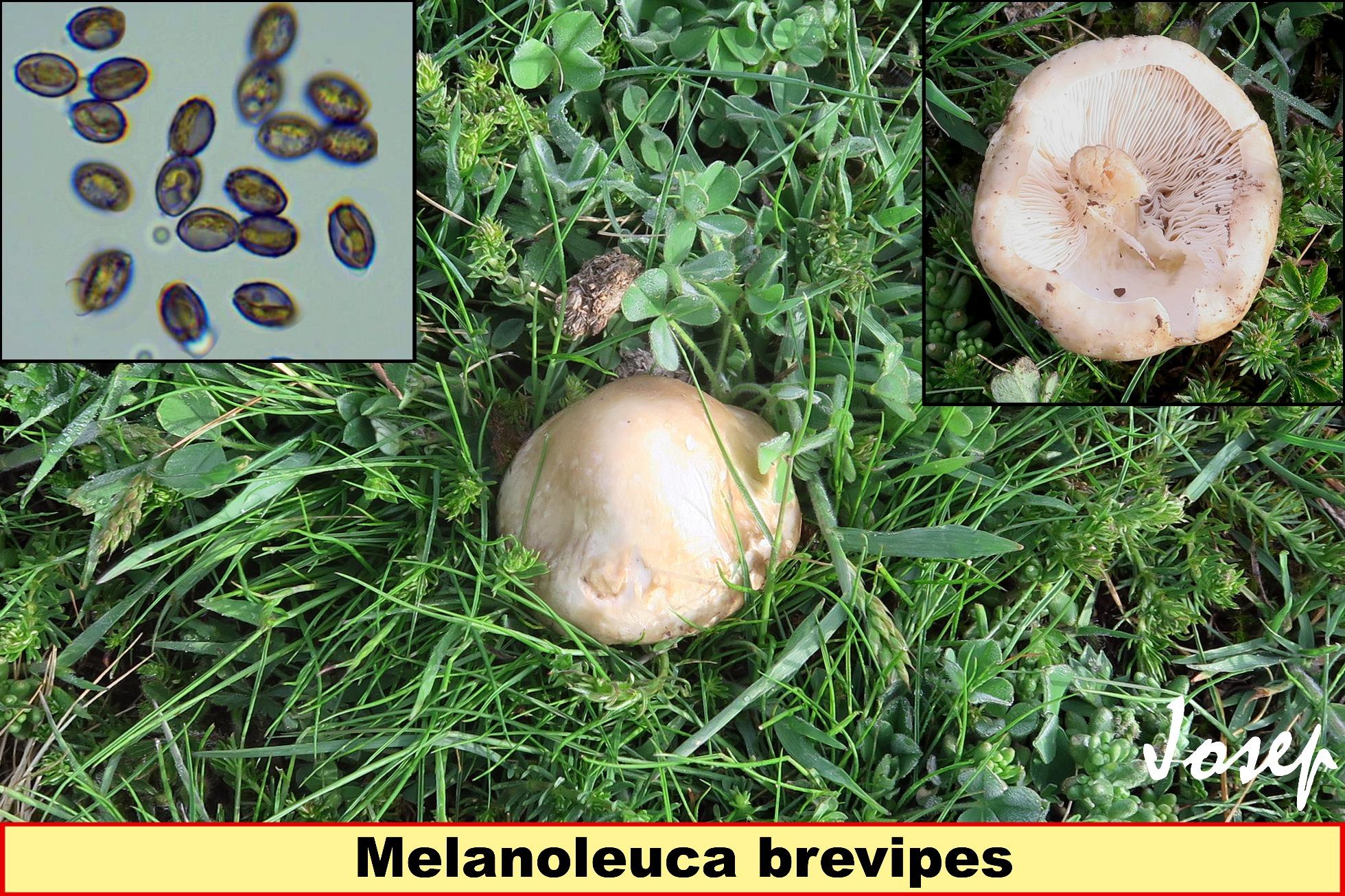Melanoleucabrevipes_2018-04-16.jpg