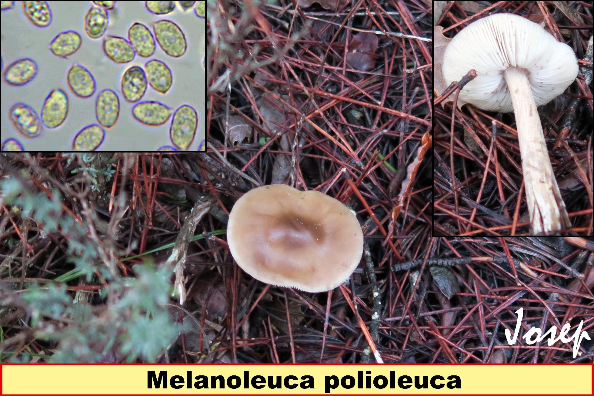 Melanoleucapolioleuca_2018-04-16.jpg