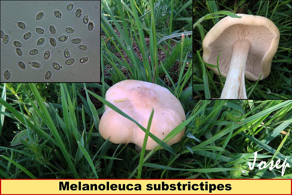 Melanoleucasubstrictipes_2020-03-14.jpg