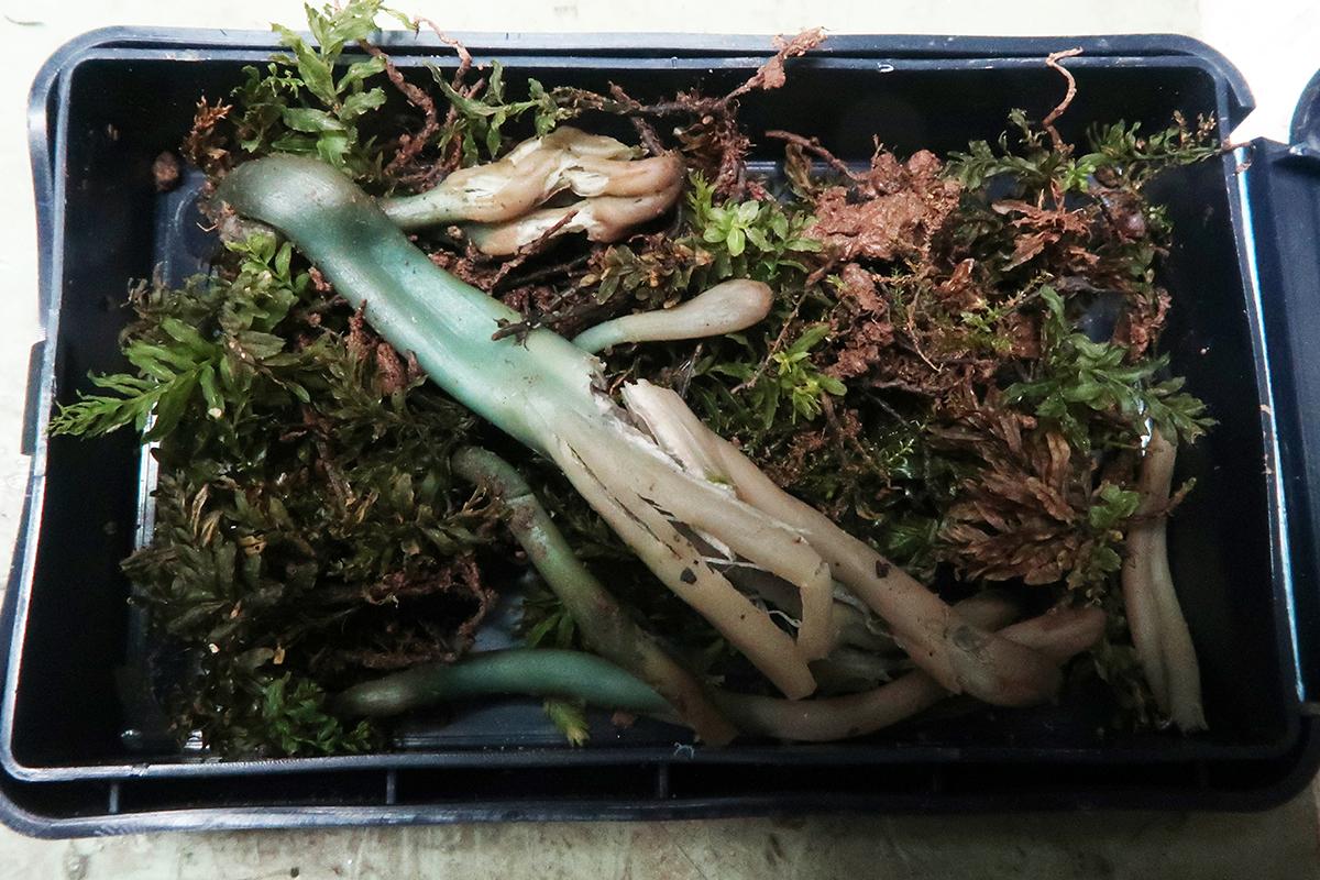 Microglossumaffnudipescaja.JPG