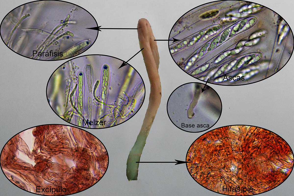 Microglossumaffnudipesmicro.jpg