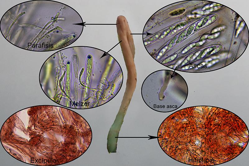 Microglossumnudipesmicro.jpg