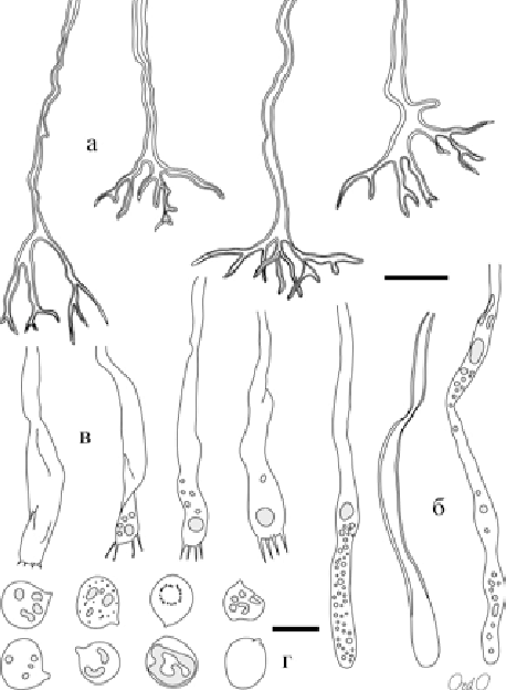Microscopical-elements-from-basidioma-of-Scytinostroma-hemidichophyticum-cWU-Myc.png