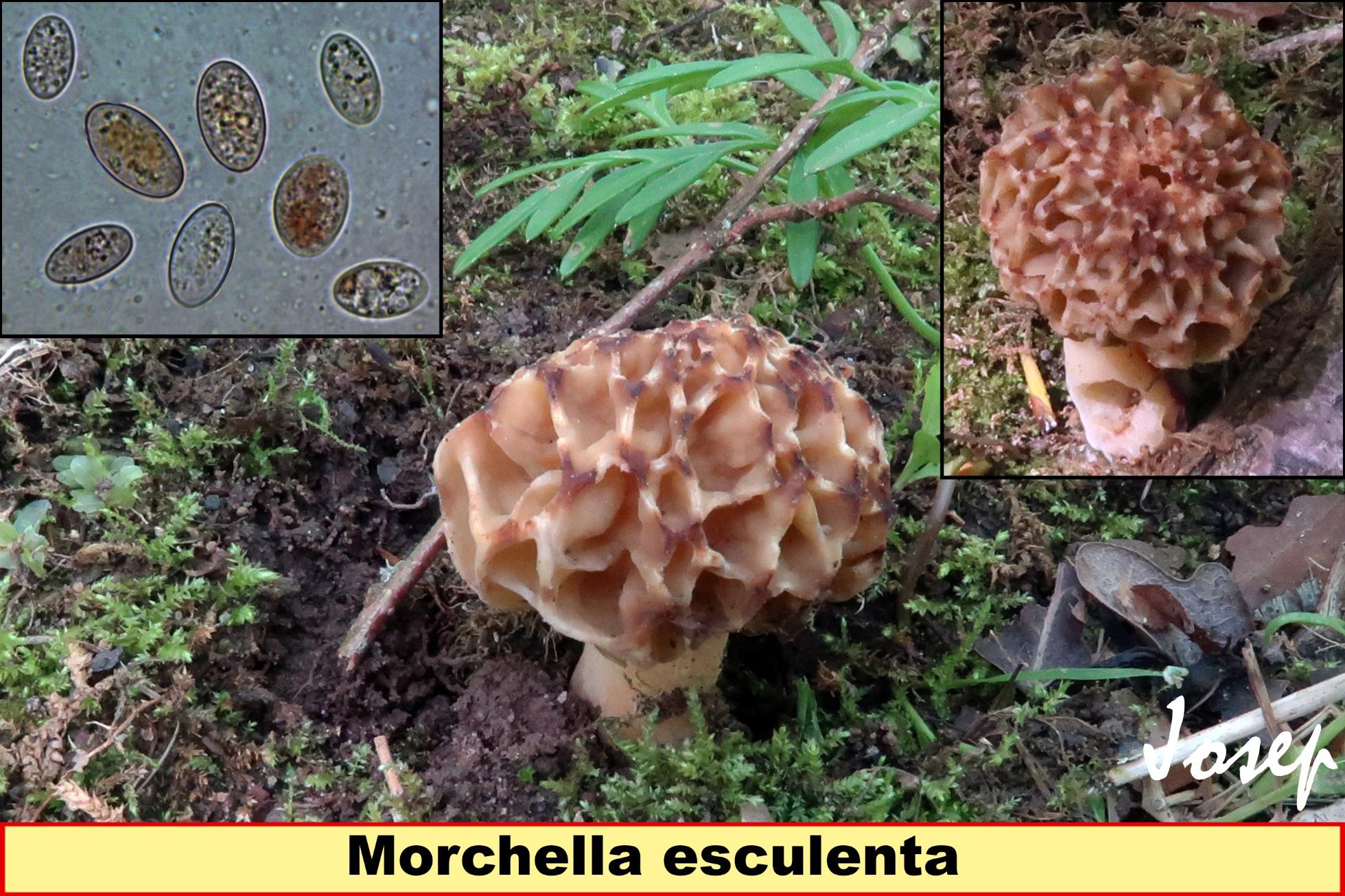 Morchellaesculenta_2019-05-18.jpg