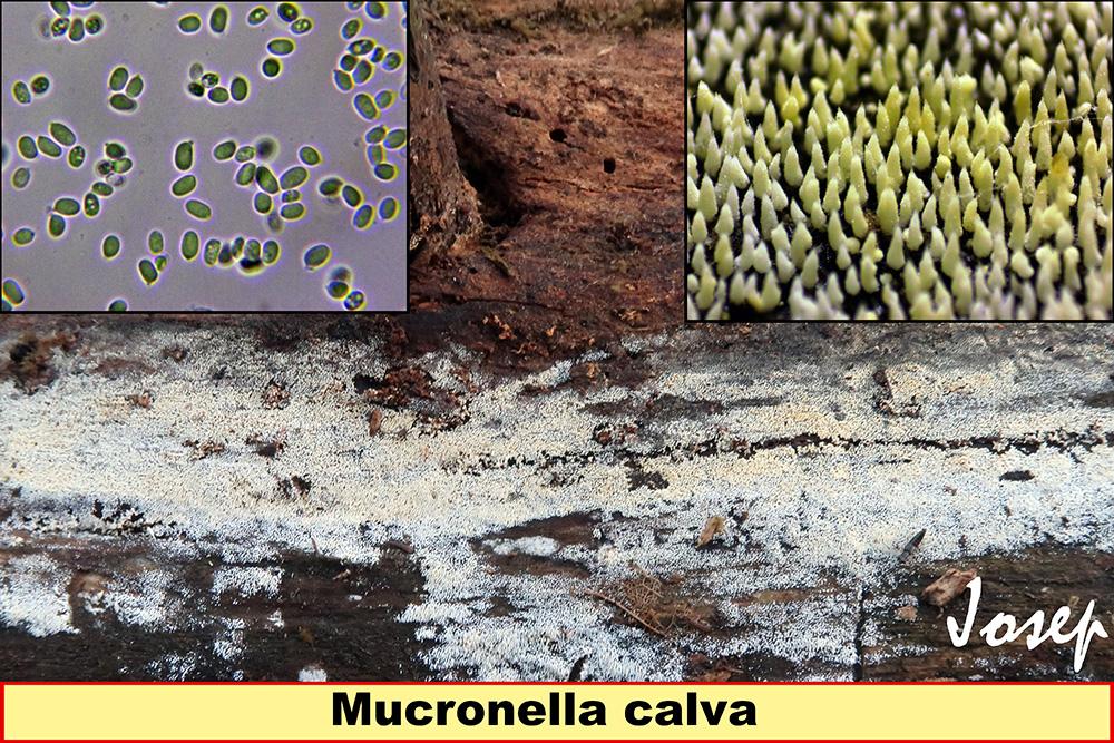 Mucronellacalva.jpg