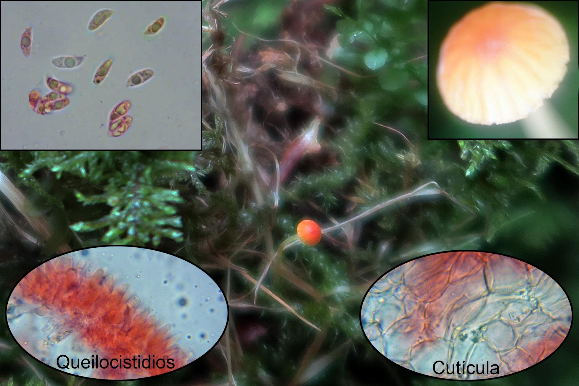 Mycenaacicula.jpg