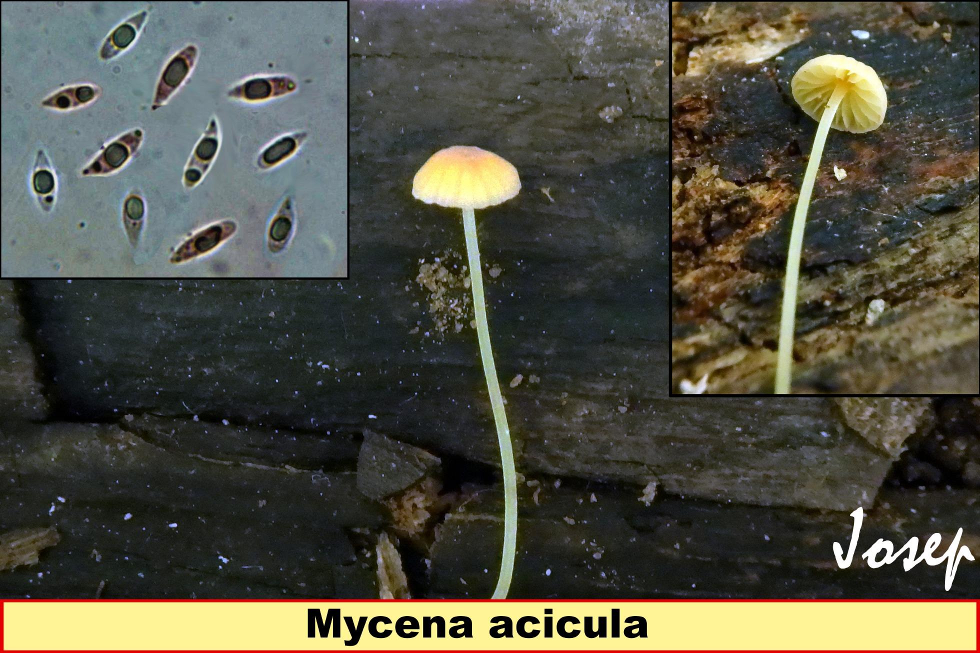 Mycenaacicula_2019-01-03.jpg