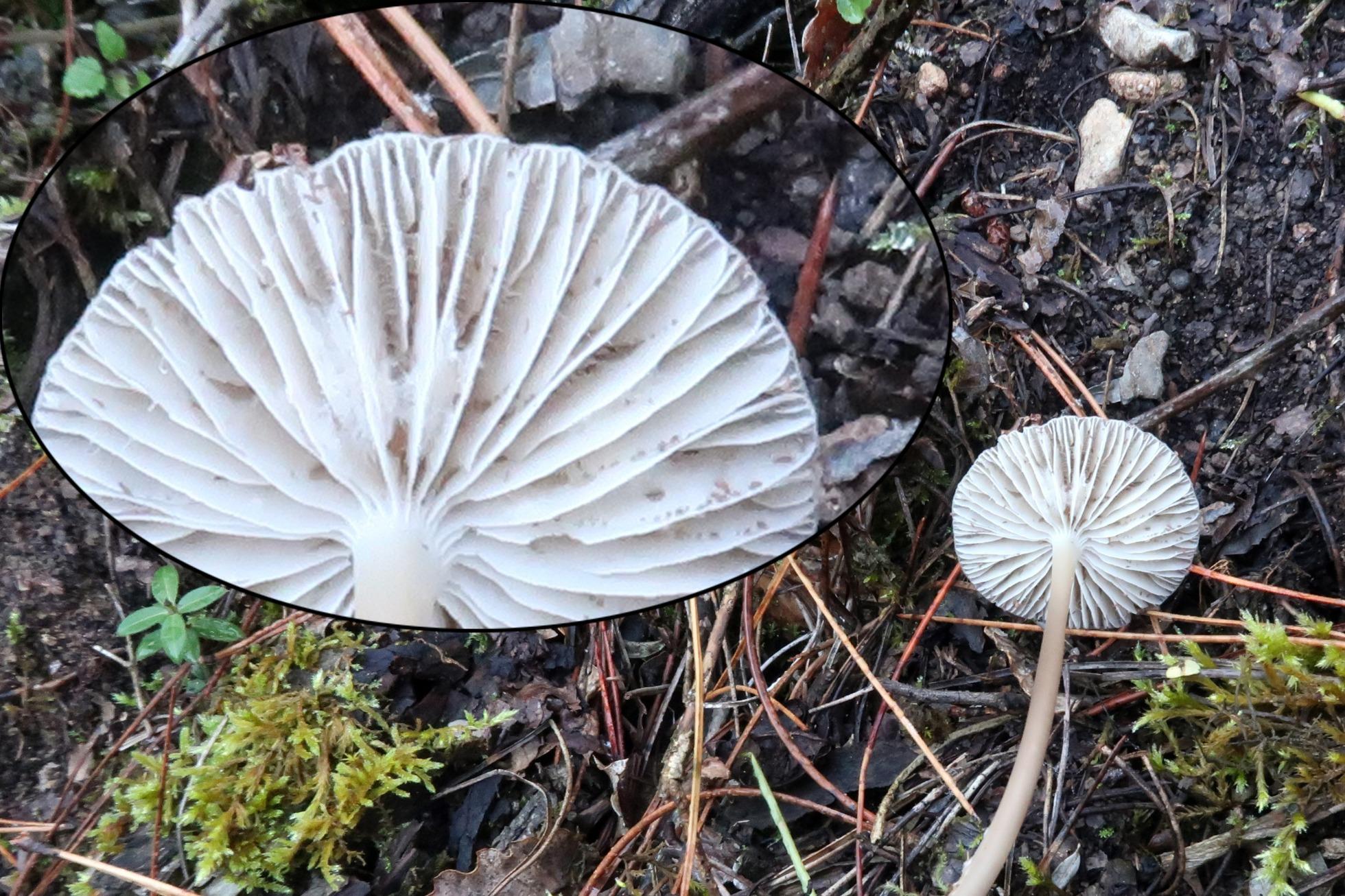 Mycenaaffgalericulataampliacin.jpg