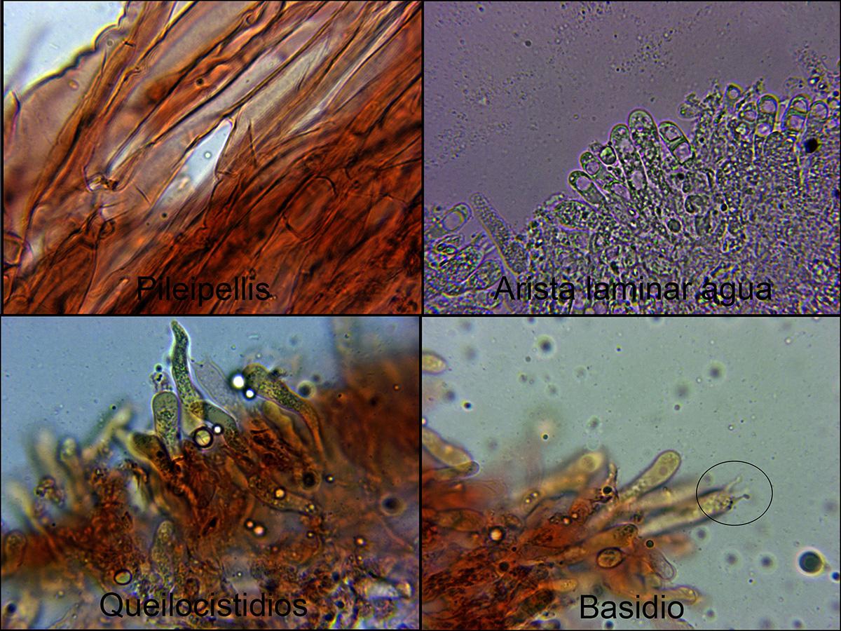 Mycenaatropapillatamicro.jpg