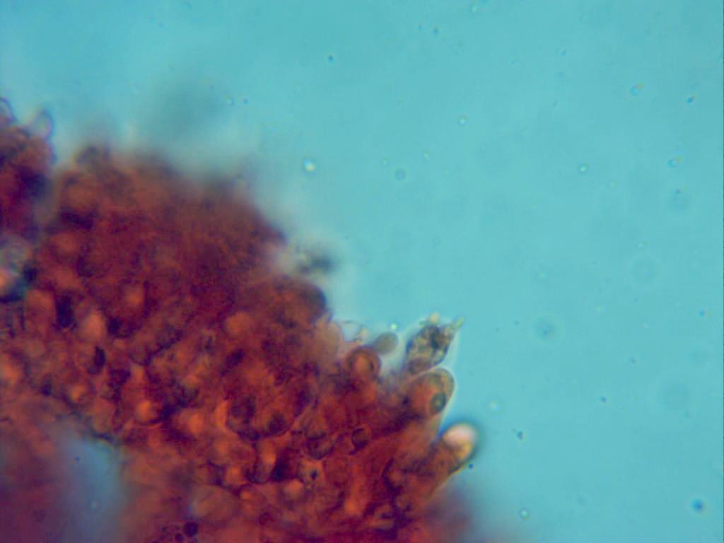MycenafilopesBasidiotetrasprico.jpg