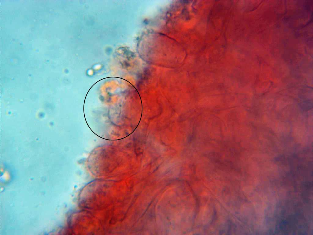 MycenafilopesCistidioscondedos.jpg