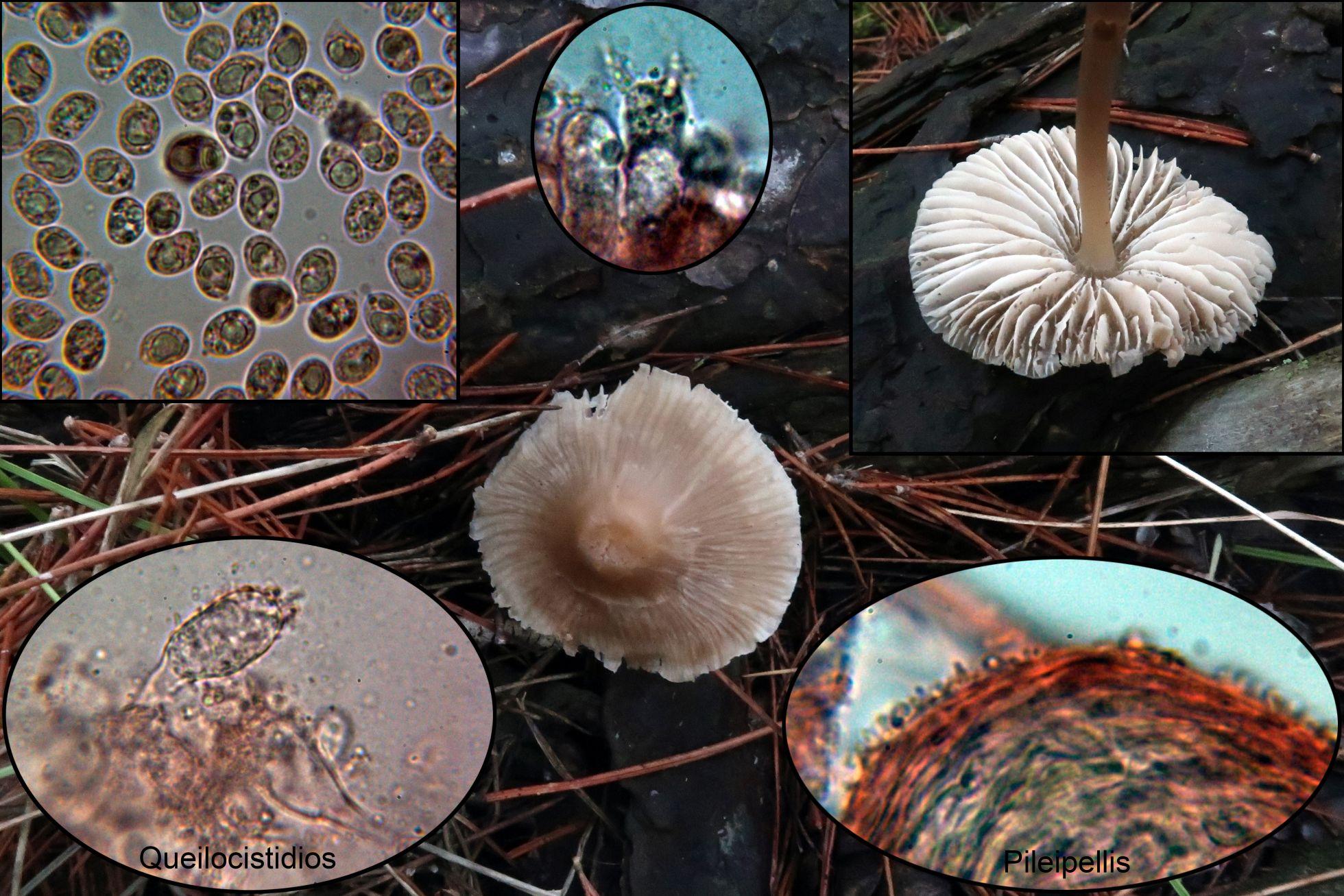 Mycenagalericulatap_2020-12-20.jpg