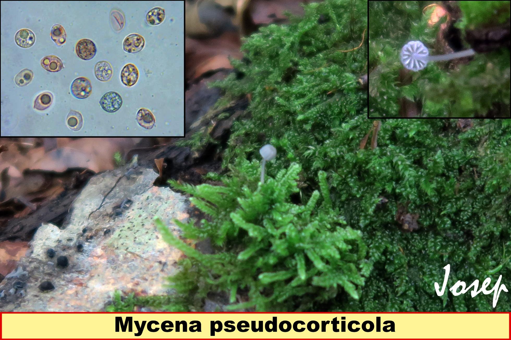 Mycenapseudocorticola_2018-12-04.jpg
