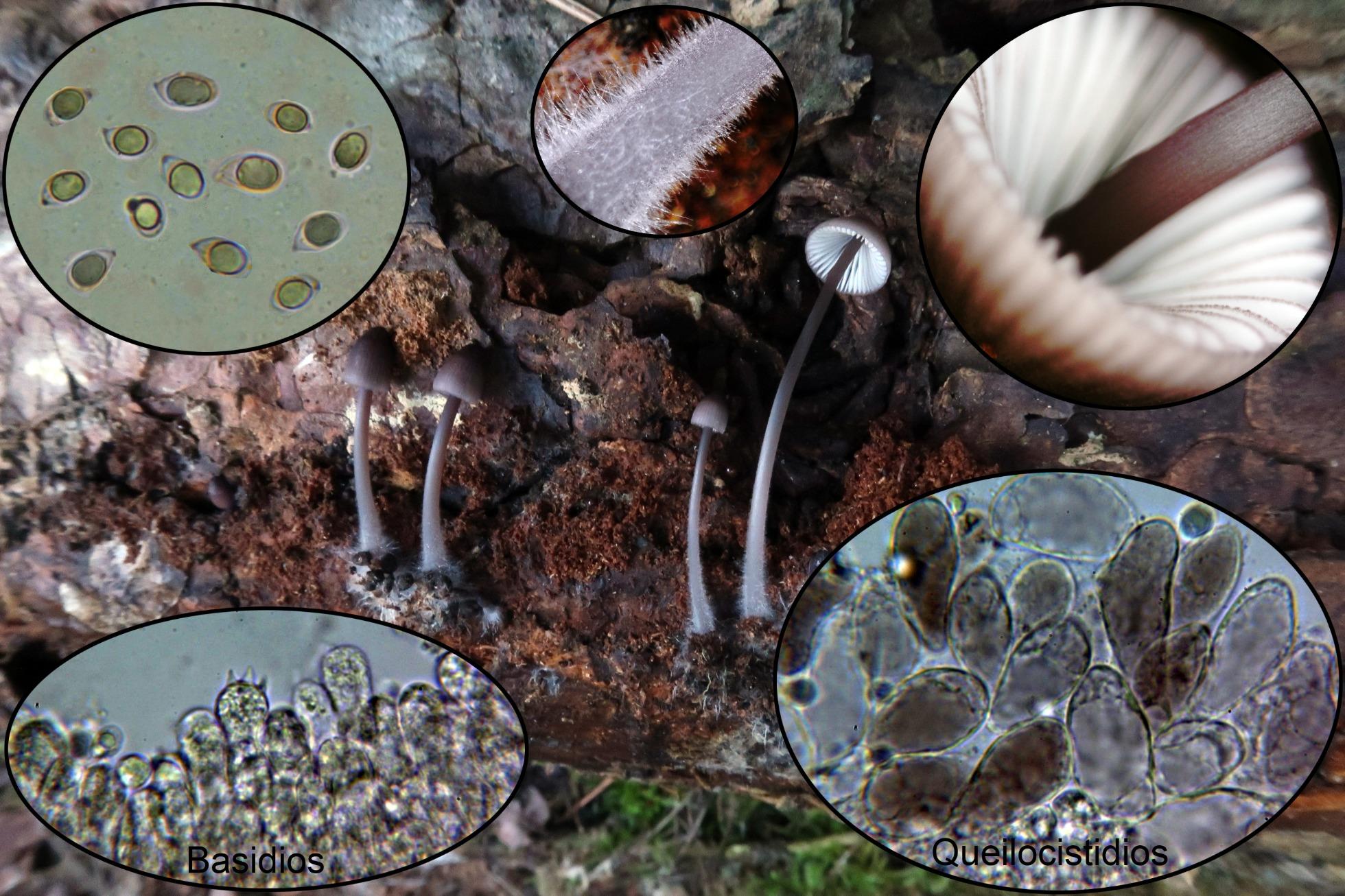 Mycenapurpureofuscap_2020-01-04.jpg