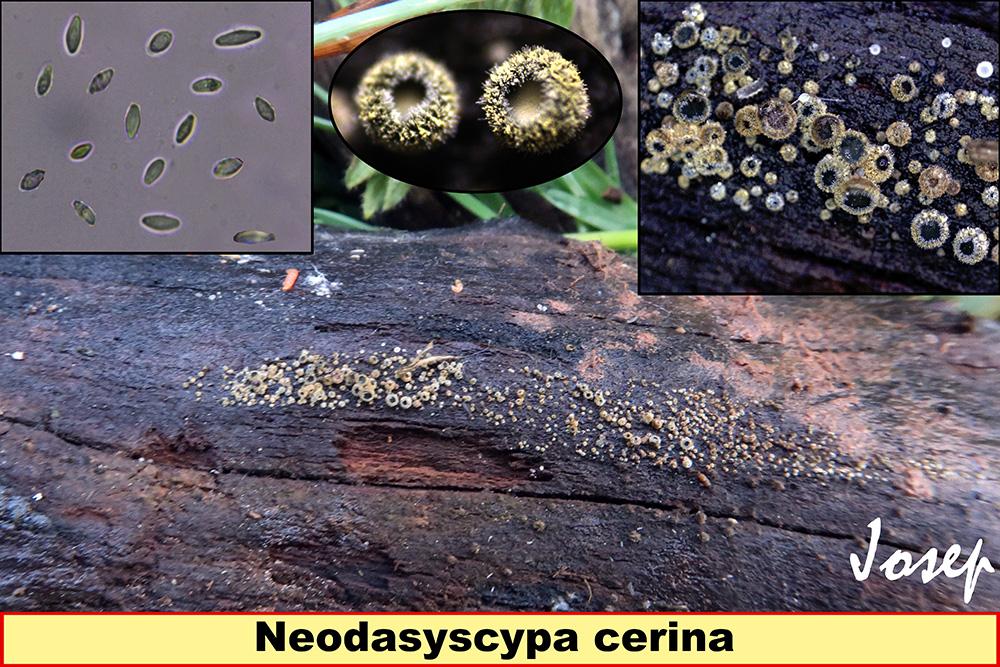 Neodasyscyphacerina.jpg