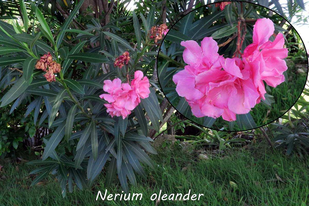 Neriumoleander.jpg