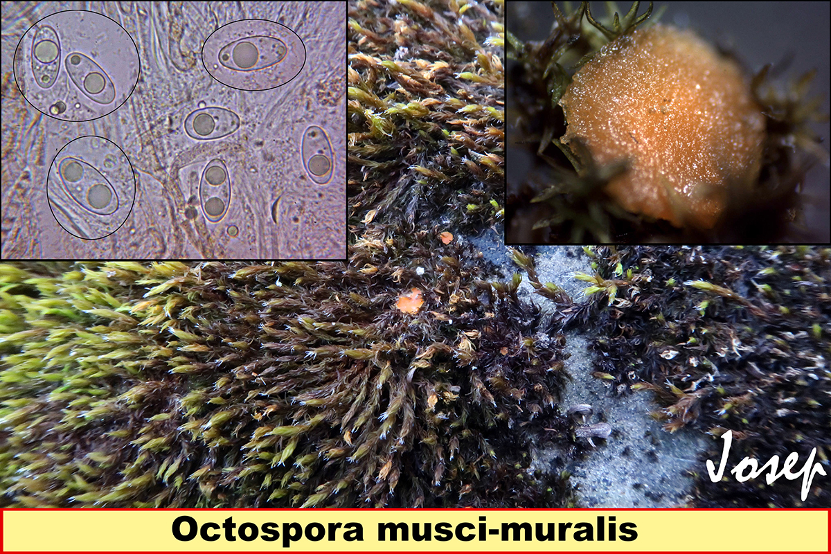 Octosporamusci-muralis.jpg