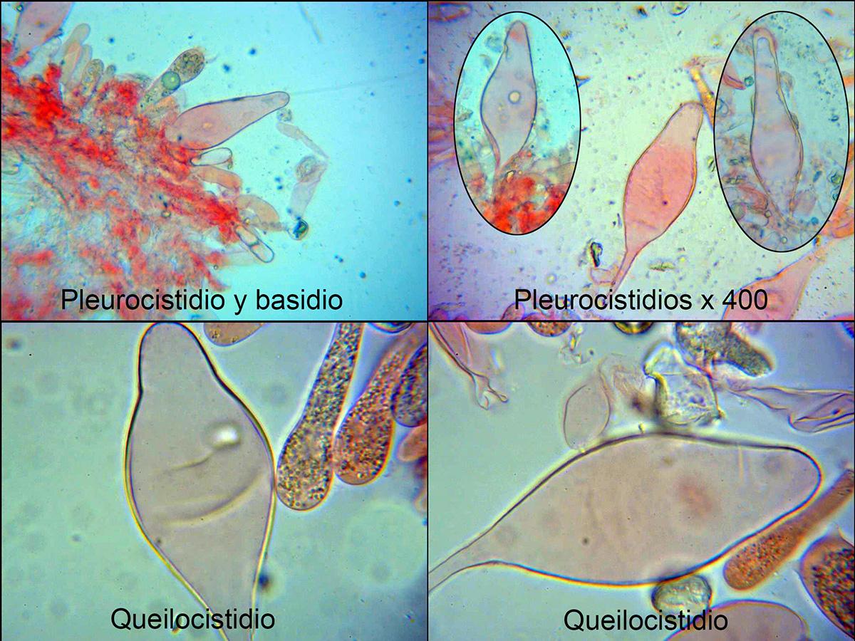 Oudemansiellaaffplatensis-canariicistidios.jpg