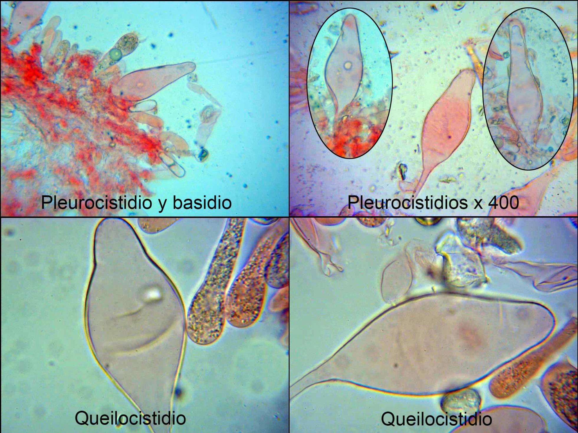 Oudemansiellaaffplatensis-canariicistidios_2021-09-01.jpg