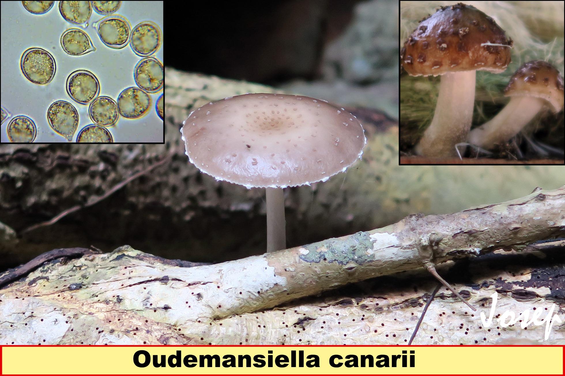 Oudemansiellacanarii_2021-09-01.jpg