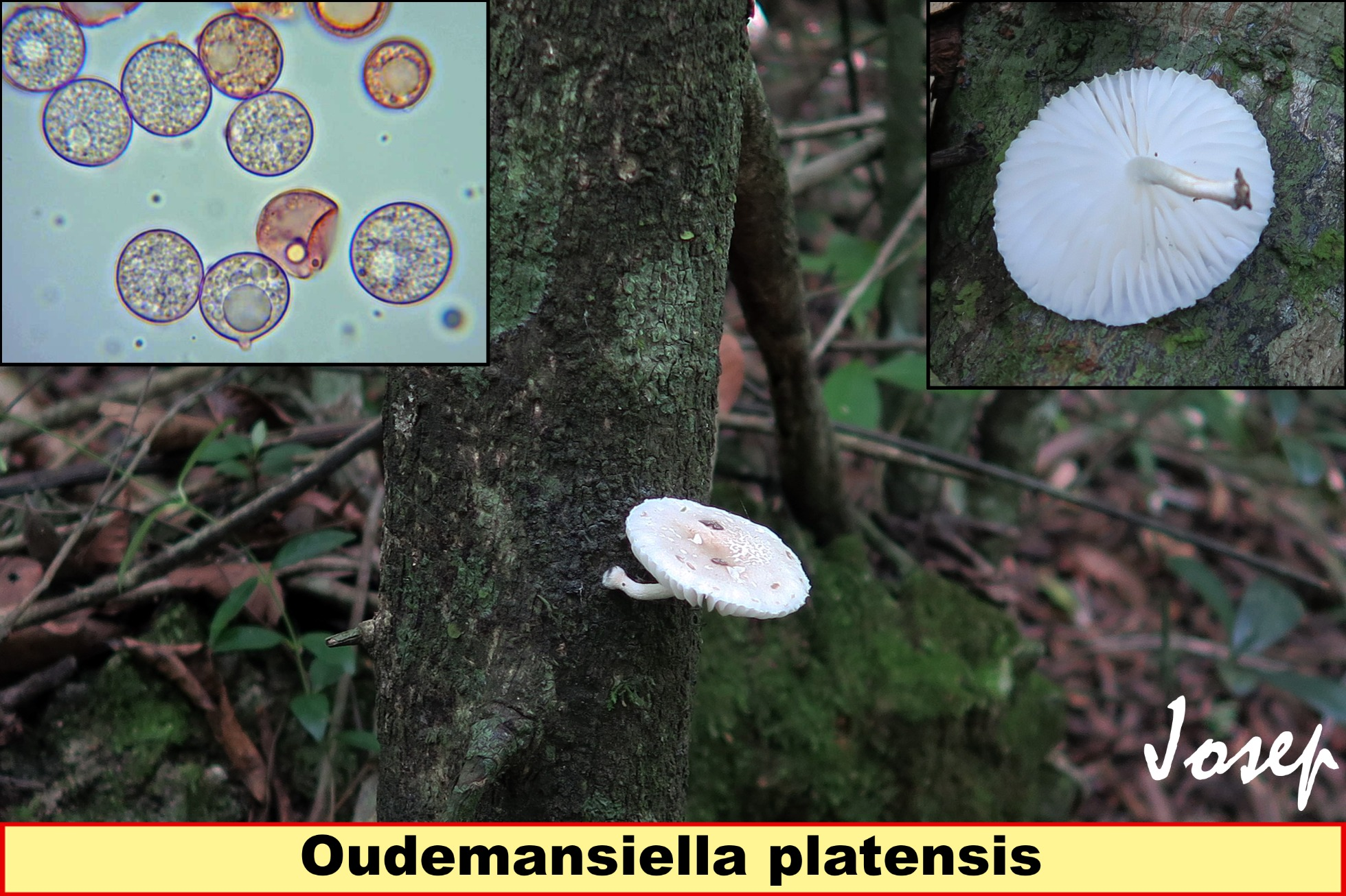 Oudemansiellaplatensis_2021-09-01.jpg