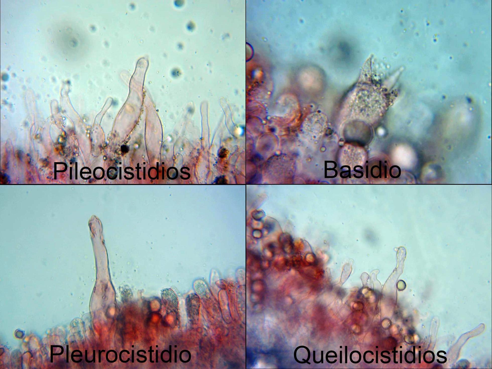 Oudemansiellaplatensismicro_2021-09-01.jpg