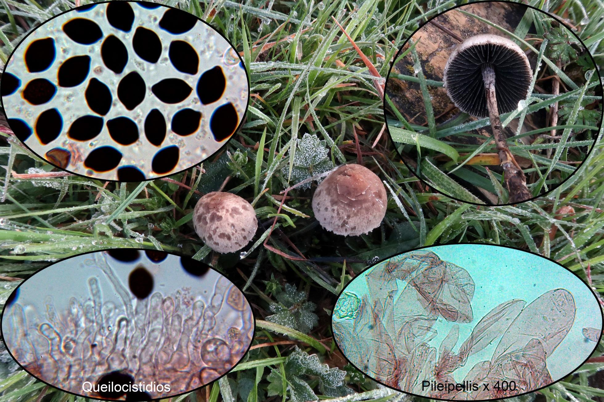 Panaeoluspapilionaceusp.jpg