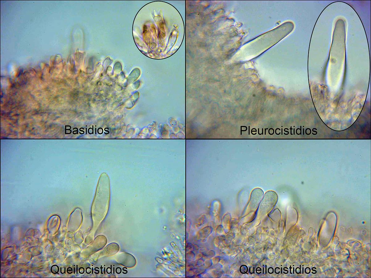 Panusneostrigosusmicro.jpg